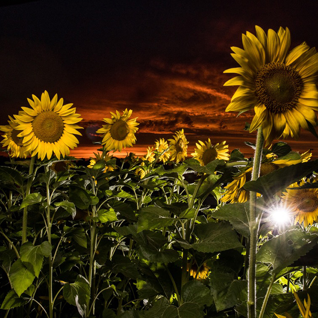 green bay photographer - sunflower portraits for high school seniors and family portraits
